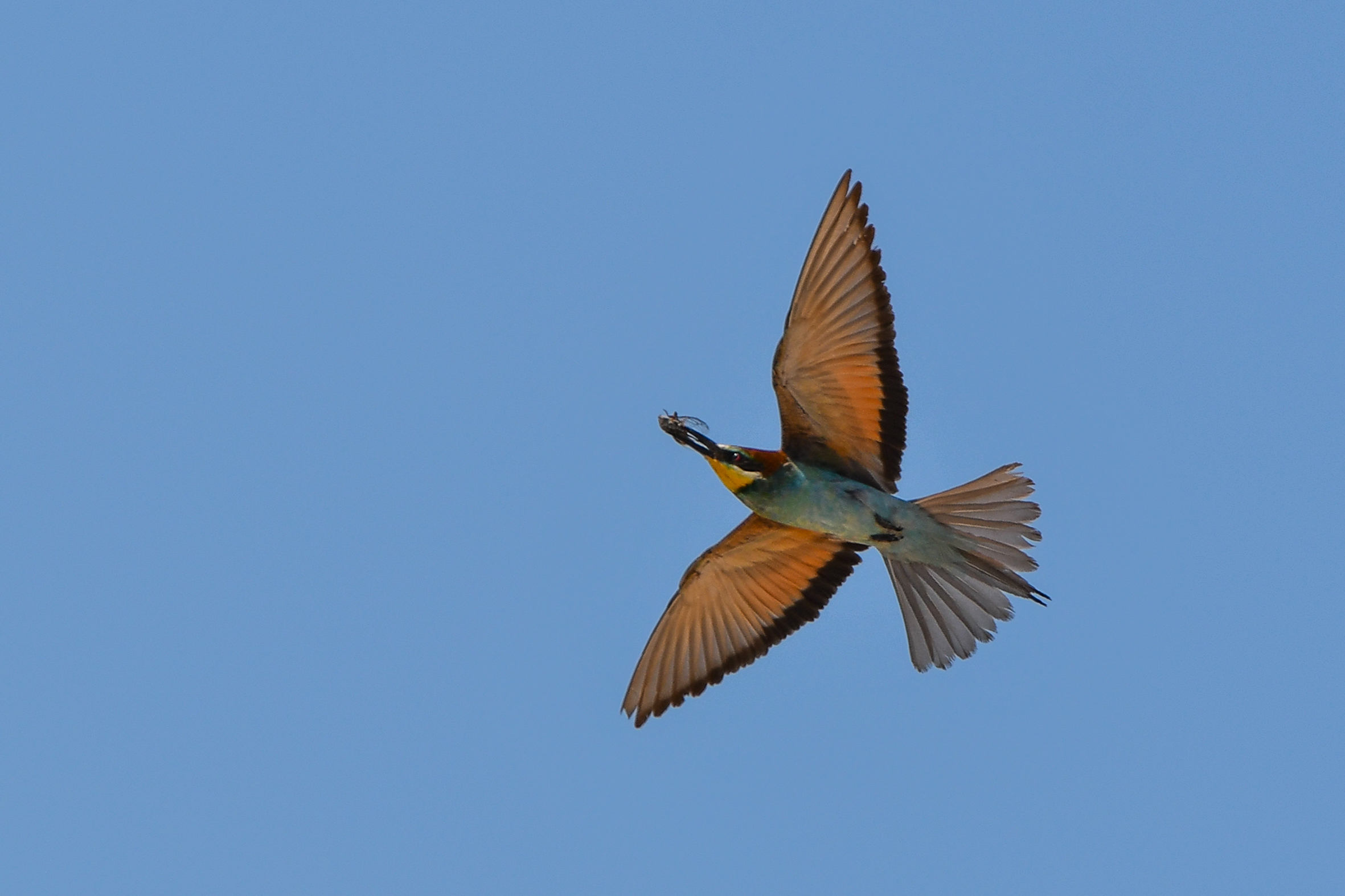 Bee-eaters from Male Srakane