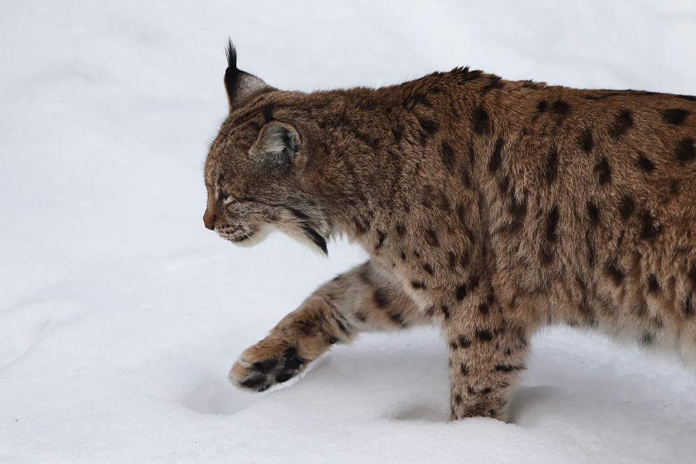 What does it mean to have the lynx disappear from our forests again?
